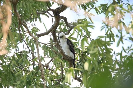 lanceolatus: Sulawesi Hawk-Eagle Spizaetus lanceolatus in Sulawesi