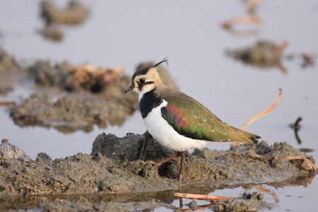 lapwing: Northern lapwing  Vanellus vanellus  in Japan Stock Photo