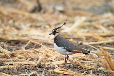 wildfowl: Northern lapwing  Vanellus vanellus  in Japan Stock Photo