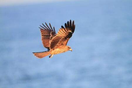 black kite: Black Kite flying at blue sky - Milvus migrans Stock Photo