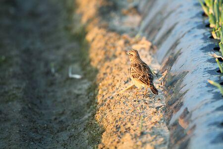 arvensis: Eurasian Skylark  Alauda arvensis  in Japan Stock Photo