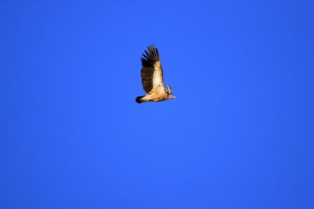 gyps: Himalayan Vulture Gyps himalayensis in North China