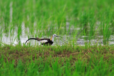 Pheasant-tailed jacana  Hydrophasianus chirurgus  in Japan Stock Photo - 18096796