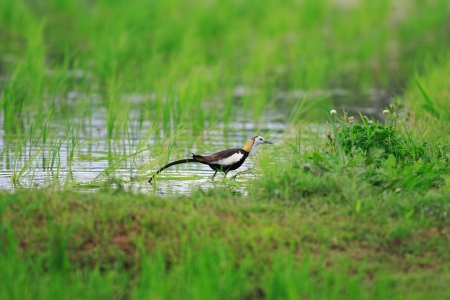 jacana: Pheasant-tailed jacana  Hydrophasianus chirurgus  in Japan Stock Photo