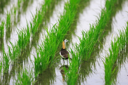 Pheasant-tailed jacana  Hydrophasianus chirurgus  in Japan Stock Photo - 18096788