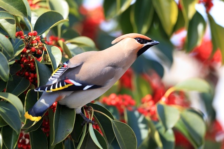 bohemian: Bohemian Waxwing  Bombycilla garrulus  in Japan Stock Photo