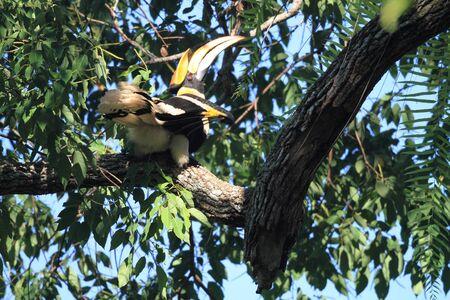 strikingly: Great hornbill Stock Photo
