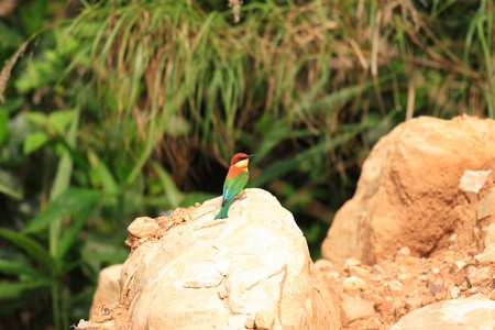 Chestnut-headed Bee-eater (Merops leschenaulti) in Thailand Stock Photo