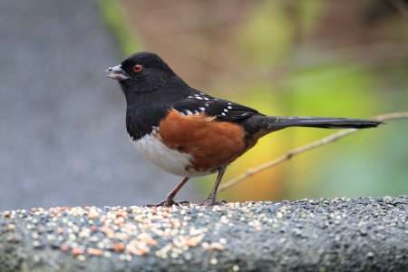 Spotted Towhee  Pipilo maculatus  in canada