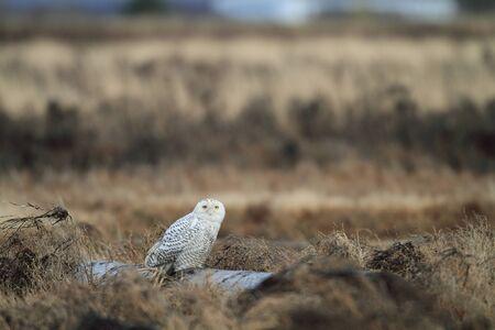 snowy owl: Snowy Owl Stock Photo