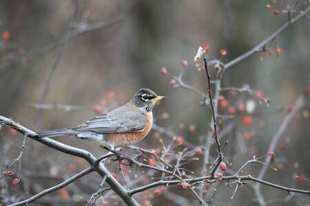 turdus: American Robin  Turdus migratorius