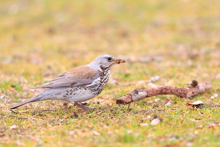 Fieldfare thrush  Turdus pilaris  first winter in Japan  photo