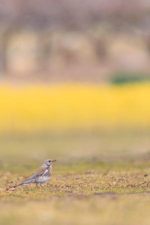 turdus: Fieldfare thrush  Turdus pilaris  first winter in Japan