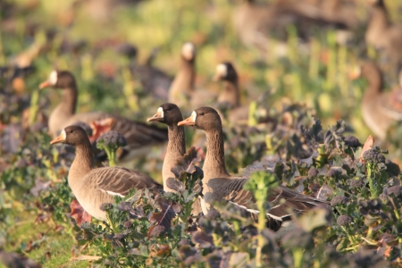 Greater white-fronted goose  Anser albifrons  in Japan photo