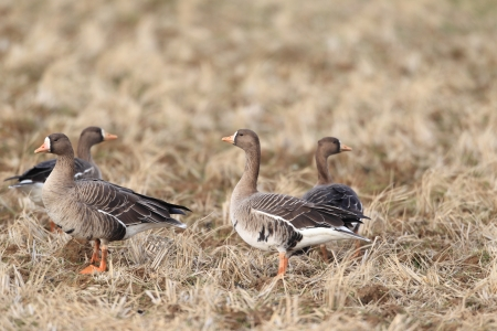 white fronted goose: Greater white-fronted goose  Anser albifrons  in Japan