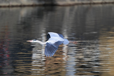 breeder: Grey heron  Ardea cinerea  in Japan