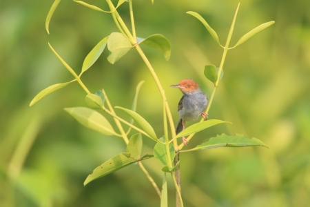ashy: Ashy Tailorbird  Orthotomus ruficeps  Stock Photo