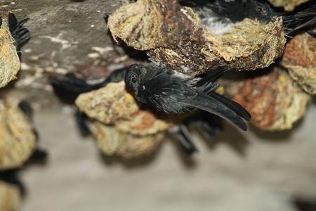 光沢のあるアナツバメ Collocalia esculenta マレーシアのネスト