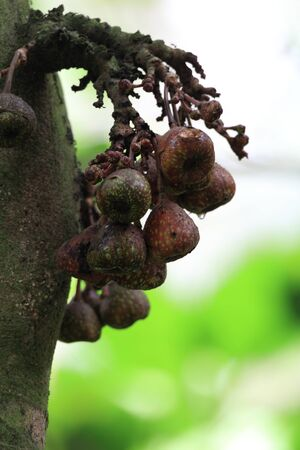 Wild fig fruit in Fraser s hill in Malaysia