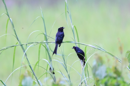 greater: Greater Racket-tailed Drongo
