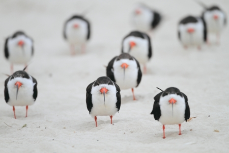 tybee island: Black Skimmers, Rynchops Niger, face into the wind