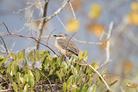 mockingbird: Northern mockingbird Mimus polyglottos in North America