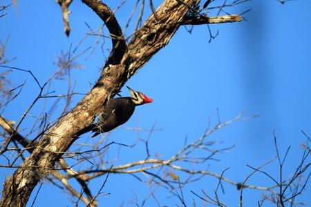 animal watching: Pileated Woodpecker on Log