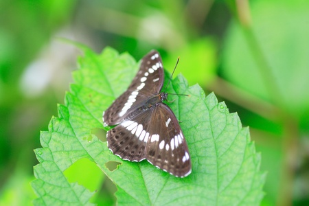 admiral: Asama White Admiral Limenitis glorifica in Japan Stock Photo