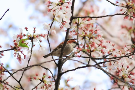 russet: Russet Sparrow  Passer rutilans  in Japan