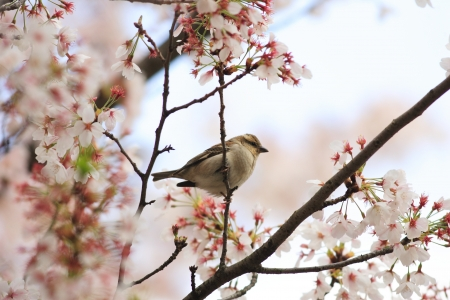 passer by: Russet Sparrow  Passer rutilans  in Japan