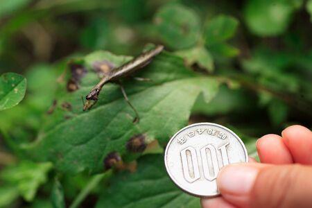 japonica: Japanese boxer mantis Acromantis japonica in Japan
