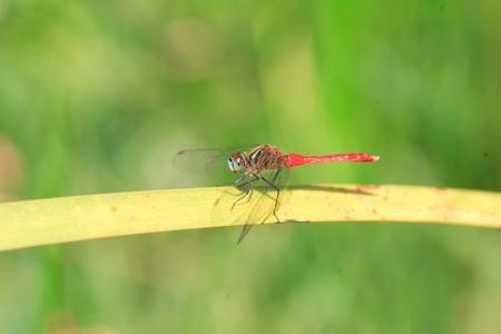 sympetrum: Sympetrum kunckeli dragonfly in Japan Stock Photo