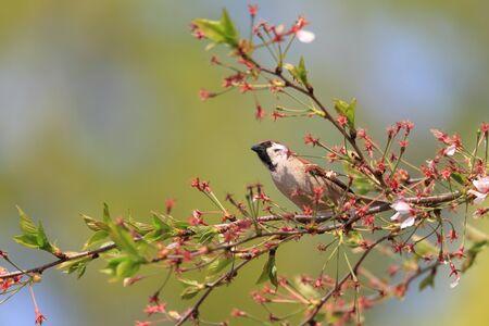 passer    by: Eurasian Tree Sparrow  Passer montanus  in Japan Stock Photo