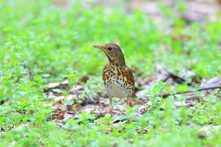 Japanese Thrush Turdus cardis female in Japan Stock Photo - 19699568