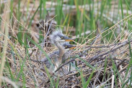 ardea cinerea: Grey Heron  Ardea cinerea  nesting in Japan  Stock Photo