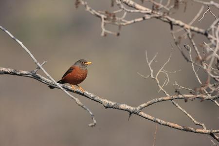 turdus: Chestnut Thrush  Turdus rubrocanus  in Qinghai, China Stock Photo