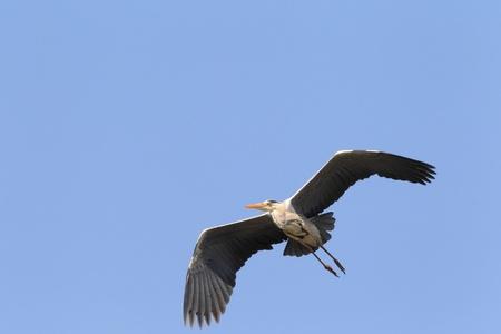 breeder: Grey heron  Ardea cinerea  in Japan