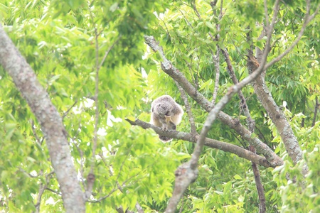 Ural owl  Strix uralensis  chick in Japan photo