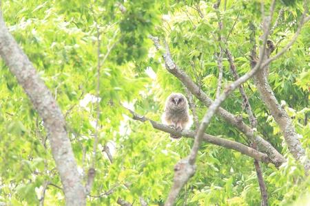 ural owl: Ural owl  Strix uralensis  chick in Japan