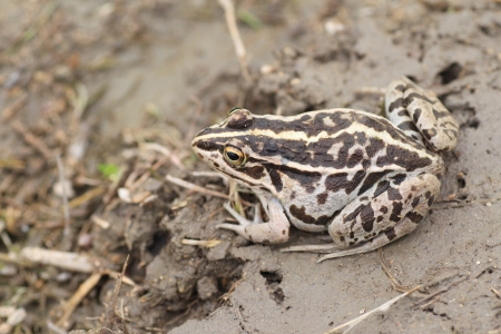 blackspotted: Black-spotted Pond Frog or Dark-spotted frog  Rana nigromaculata  in Japan Stock Photo