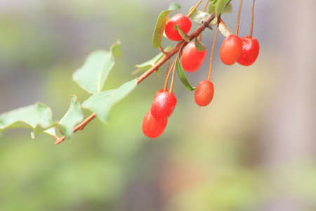 noteworthy: Juneberry (Amelanchier canadensis) in Japan Stock Photo
