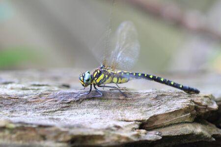 widlife: Sarasaeschna pryeri dragonfly in Japan