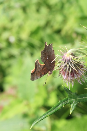 comma: Comma butterfly Polygonia calbum in Japan Stock Photo