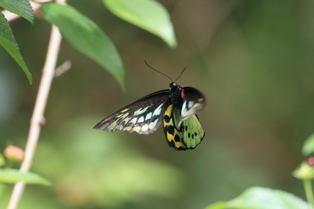 cairns: Cairns Birdwing  Ornithoptera euphorion   in Australia