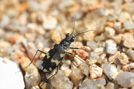 cicindela: Lewis Tiger Beetle  Cicindela lewisi  in Japan Stock Photo