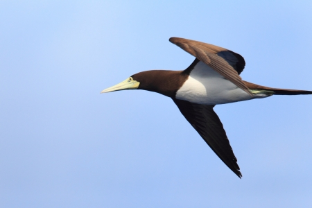 booby: Brown Booby  Sula leucogaster  in Japan