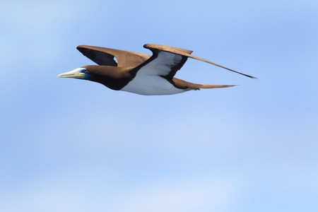 Brown Booby  Sula leucogaster  in Japan
