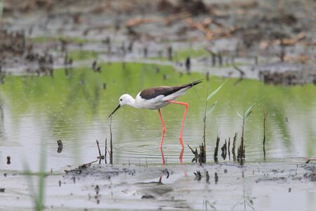 white necked: Black-winged Stilt Himantopus himantopus in Giappone
