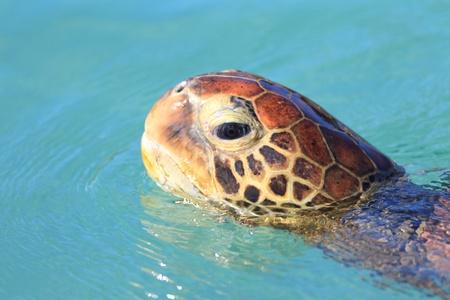 chelonia: Green turtle  Chelonia mydas  in Japan
