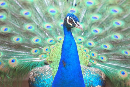 wooing: Peacock showing off colorful feathers Stock Photo